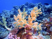 Soft coral — Stock Photo