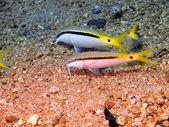 Peixes de coral, mar vermelho, dahab — Foto Stock