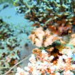 Boxfish, Red sea, Dahab — Stock Photo