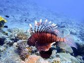 Scorpionfish — Stockfoto