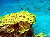 Stone coral — Photo