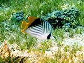 Coral fish, Red sea, Dahab — Stock Photo