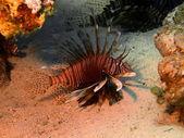 Scorpionfish — Photo
