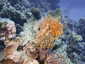 Kamenná korálový — Stock fotografie