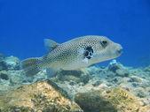 Boxfish, Red sea, Dahab — Stock Photo