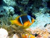 Fish-clown, Red sea, Dahab — Stock Photo