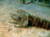 Mouth of the sea cucumber — Stock Photo