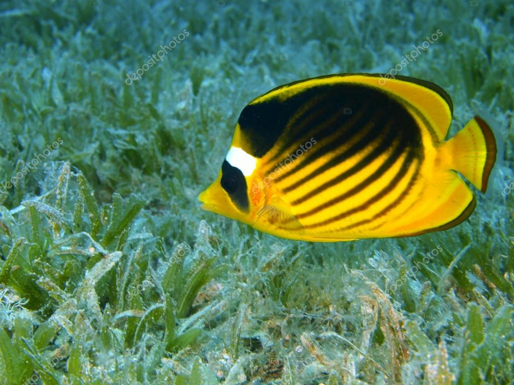 Coral fish red sea dahab stock photo vodolaz 14139051 for Red sea fish