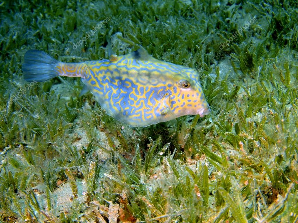 Pictures of the underwater world of Red sea: boxfish — Stock Photo #14173855