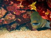 Mureny morza czerwonego dahab — Zdjęcie stockowe