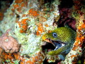 Moray eels of the Red sea, Dahab — Stock Photo