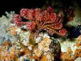 Lirio de mar del mar rojo, dahab — Foto de Stock