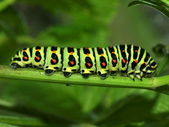 Caterpillar of day time butterfly — Stock Photo