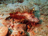 Scorpionfish, Vietnam, Nha Trang — Stock Photo