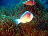 ベトナム魚ピエロ — ストック写真