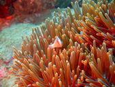 Pesce-pagliaccio, vietnam — Foto Stock