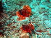 Scorpionfishes, Vietnam — Stock Photo