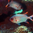 Stock Photo: Coral fishes, Vietnam