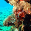 Stock Photo: Scorpionfish, Vietnam