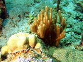 Soft coral, Vietnam — Stock Photo
