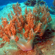 Stock Photo: Soft coral, Vietnam