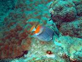 Korallenfische, vietnam — Stockfoto