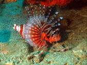 Scorpionfish, Vietnam — Stock Photo