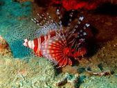 Scorpionfish, wietnam — Zdjęcie stockowe