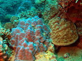 Stone coral, Vietnam — Stock Photo