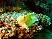 Poisson-grenouille de couleur blanche, vietnam — Photo