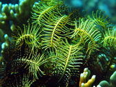 Sea lily, Vietnam — Stock Photo