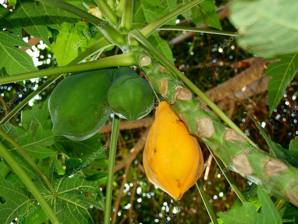 fruits des arbres fruitiers tropicaux vietnam photographie vodolaz 18099253. Black Bedroom Furniture Sets. Home Design Ideas