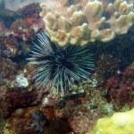 Sea urchin, Vietnam — Stock Photo #18539263