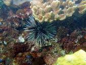 Sea urchin, Vietnam — Stock Photo