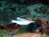 Fish-clown, Philippine sea — Stock Photo