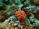 Stone coral, Philippine sea — Stock Photo