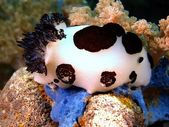 Sea slugs of the Philippine sea — Stock Photo