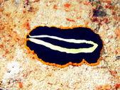 Flat worm — Stock Photo