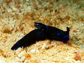 Sea slugs of the Philippine sea — Stock Photo