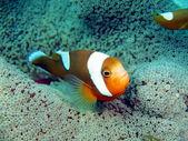 Fish-clown — Stock Photo