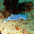 Sea slugs of the Philippine sea - Stock Photo