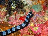 Sea snake — Stock Photo