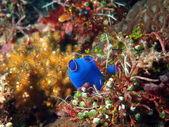 Sea squirt — Stock Photo