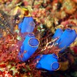 Sea squirt - Stock Photo