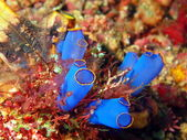Sea squirt — Stock Photo