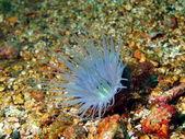 Anemones of the Philippine sea — Stock Photo