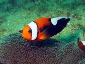 Fish-clown — Zdjęcie stockowe