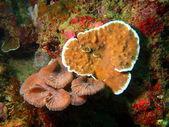 Stone coral — Stock Photo