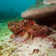 Scorpionfish — Stock Photo #26040893