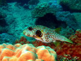 Boxfish — Stock Photo
